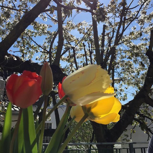 Kirschblütenfest bei Schauks #sonntag #balkonien #beischauks #kirchbluetenfest #schoen