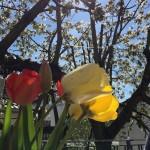 Kirschblütenfest bei Schauks