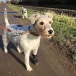 Erster Spaziergang seit 2 Wochen für Rosie – mit Schuh ;)