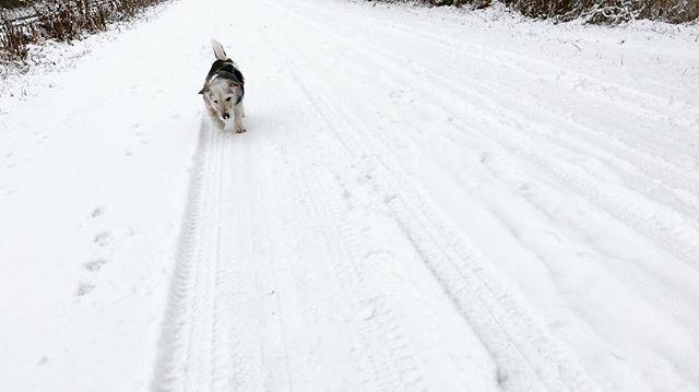 Schneeschieber Luca #lucaliebtschnee #ichauch #rosieauchabernichtsosehrwieluca #luros #winter #januar2017 #snow #welovesnow #instadogs #terrier #russellterrier