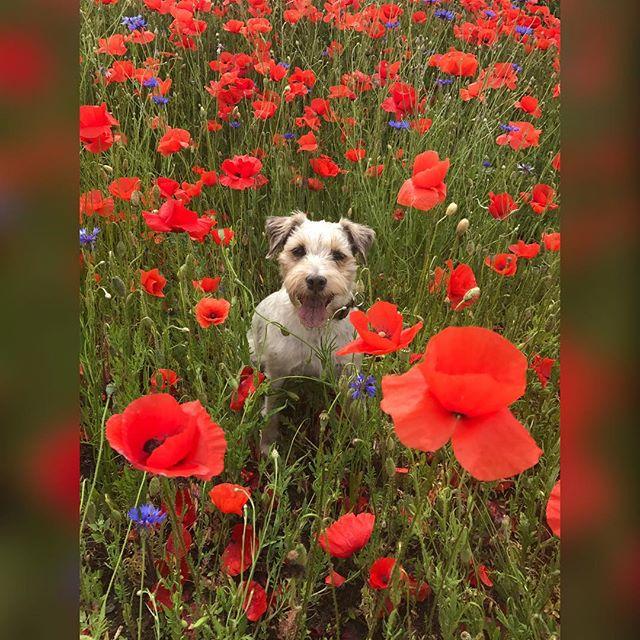 Geschnappschusst ;) #rosie #diamondrose #foxburrys #parsonrussell #derhundderniesitzenbleibt #zufallsbild #mohn #dogs #dogs_of_instagram #dogstagram #11jahre