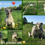 """12 Jahre Rosie ️ unsere Schnuppe  unsere tägliche Herausforderung  unsere Müffeltussi und Dreckschweinchen  nie leise aber auf der Couch immer lieb 🤗 @michaweber1 s Beste und Liebste  ein """"PapaHund"""" ️ #rosie #12jahre #geburtstag #terrier #instadog #instaterrier"""